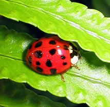 Buy Ladybugs Live 1500 Quantity from Hirts